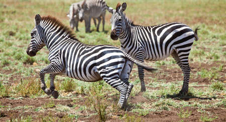 Zebras graze on the fresh grasses of the Serengeti  Serngeti National Park, Tanzania