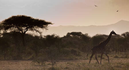 A pair of Masai Giraffes make their way across the savanna  Serengeti National Park, Tanzania photo