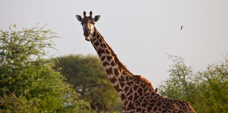 A Masai Giraffe makes his way across the savanna  Serengeti National Park, Tanzania photo