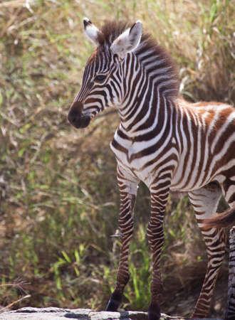 Trots baby Een baby zebra zand op een rots tijdens de Grote Migratie, Serengeti National Park, Tanzania Stockfoto