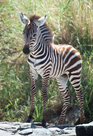 Proud Baby A baby zebra Sanden auf einem Felsen während der Great Migration, Serengeti National Park, Tansania Standard-Bild