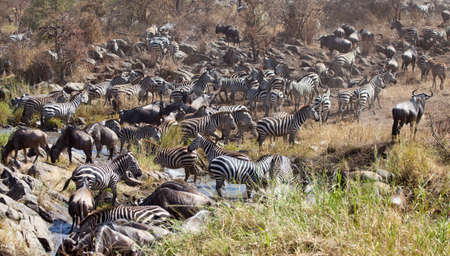 great plains: Great Migration  A Herd of Zebras and Wildebeest cross the Serengeti during the great migration  Serengeti National Park, Tanzania