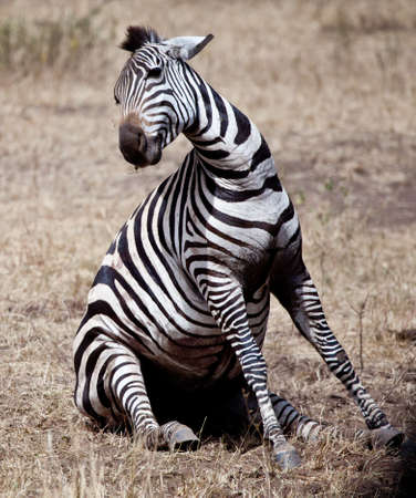 migrating animal: A zebra struggles to give birth during the Great Migration, Serengeti National Park, Tanzania
