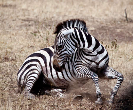 Een zebra worstelt om te bevallen tijdens de Grote Migratie, Serengeti National Park, Tanzania