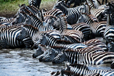 A herd of Zebras and Wildebeest take to the watering hole in Serengeti National Park, Tanzania photo
