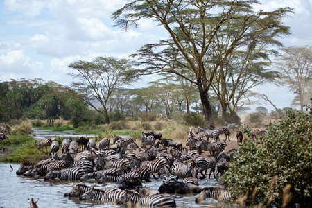 Eine Herde von Zebras und Gnus auf die Wasserstelle in der Serengeti National Park, Tanzania nehmen