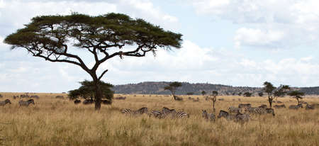 acacia tree: A baby zebra hangs in the tree, prey to a leopard who drags their prey above to keep scavenegers away  Serengeti National Park, Tanzania