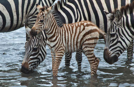 zebra print: A baby Zebra with his mother at a watering hole