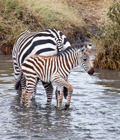 A baby Zebra with his mother at a watering hole