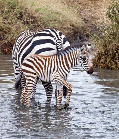 Ein Baby mit seiner Mutter an einem Wasserloch Zebra Standard-Bild