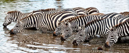 A herd of Zebras and Wildebeest take to the watering hole in Serengeti National Park, Tanzania