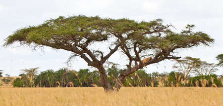 Lions nap in the trees on the savanna, Serengeti National Park, Tanzania