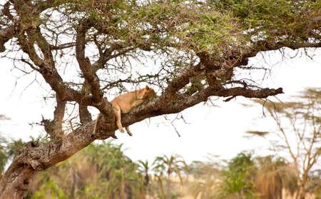 Lions nap in the trees on the savanna, Serengeti National Park, Tanzania