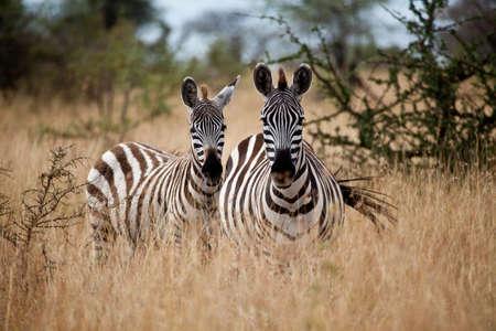 Zèbres dans les hautes herbes de la savane, parc national du Serengeti, Tanzanie