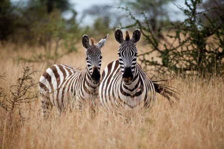 Zebras in the high grass of the savanna, Serengeti National Park, Tanzania photo