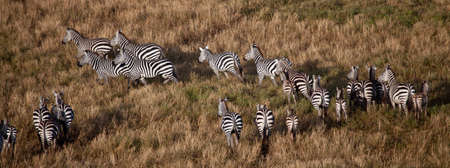 A herd of Zebras on the move across the Savannah as seen from a hot air balloon, Serengeti National Park, Tanzania photo