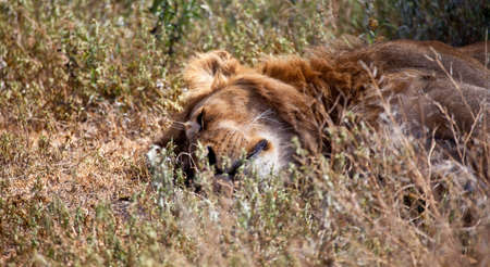 A large Male lion naps in the midday heat of the savanna  Serengeti national Park, Tanzania  photo