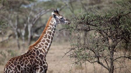 A juvenile Giraffe eats from the leaves of an acacia tree  Serengeti National Park, Tanzania