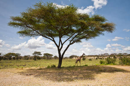 A giraffe under a large Acacia Tree  Serengeti national Park, Tanzania