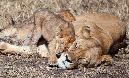 Eine Löwin und ihre Jungen in der Savanne Serengeti National Park, Tansania