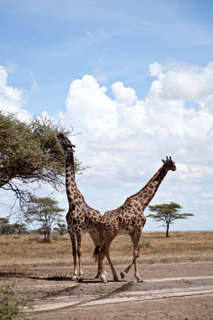 A pair of Giraffes feed on the leaves of an Acacia Tree  Serengeti National Park, Tanzania photo