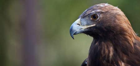 golden eagle: Portr�t eines Golden Eagle, als er nach Beute durchsucht