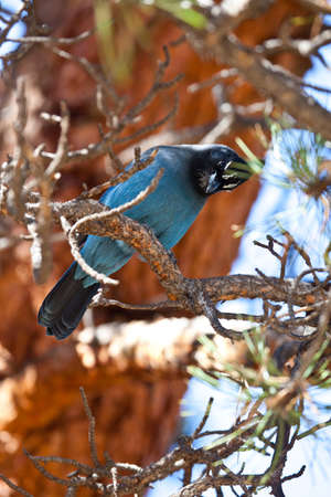 A Blue Jay sits in a pine tree and surveys his surroundings  Rocky Mountain National Park, Colorado photo