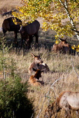 A herd of does and calves graze on the dry grasses of Rocky Mountain National Park during the fall rutting season  Colorado photo