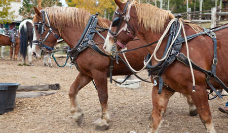 Belgian Draft Horses hitched for work  Estes Park, Colorado Stok Fotoğraf