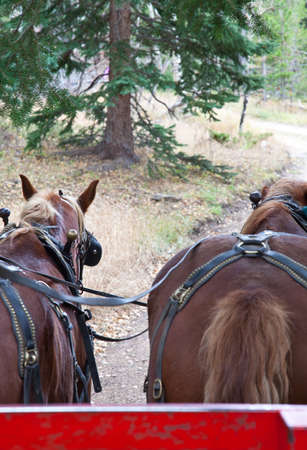 hitched: Belgian Draft Horses hitched for work  Estes Park, Colorado Stock Photo
