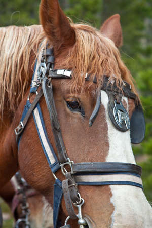 belgian horse: A close up shot of a Belgian Horse in full tack hitched to a wagon  Estes Park, Colorado