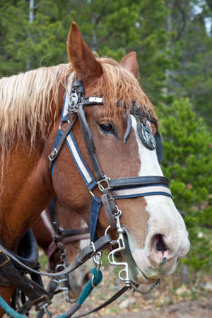 A close up shot of a Belgian Horse in full tack hitched to a wagon  Estes Park, Colorado