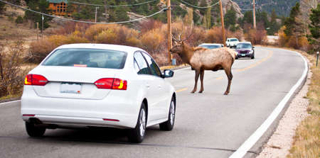 backing up: A large bull elk stands in the middle of the road backing up traffic on both sides  Estes Park, Colorado