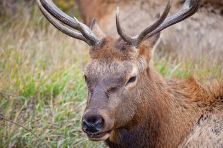 A lone bachelor bull Elk hangs outside the herd of a more dominant male hoping to siphon off cows during the fall rutting season. Stock Photo - 16155896