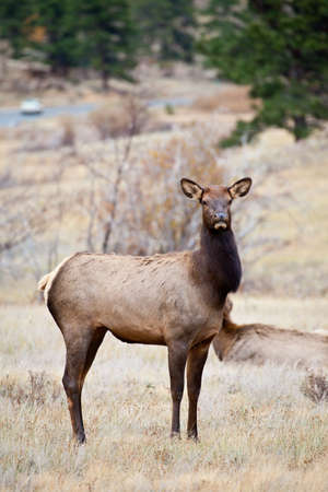 A Doe Elk grazes on the dry grasses of Rocky Mountain National Park during the fall rutting season  Colorado photo