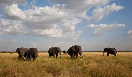 africana: A herd of Elephants cross the savannah  Serengeti National Park, Tanzania