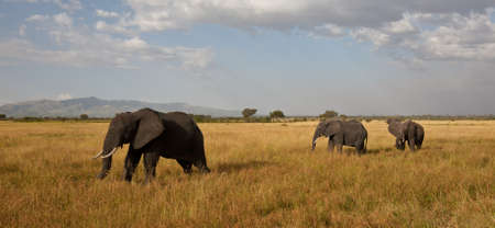 A herd of Elephants cross the savannah  Serengeti National Park, Tanzania