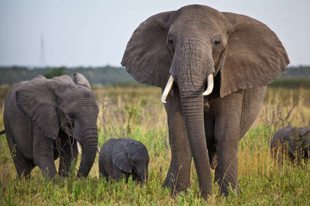 africana: A female, a jouvenile, and a new born African Elephant  Serengeti National Park, Tanzania
