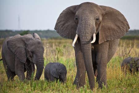 Eine Frau, ein jouvenile, und ein neuer geboren African Elephant Serengeti National Park, Tansania