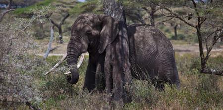acacia tree: A large Bull under an Acacia Tree  Serengeti National Park, Tanzania