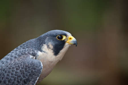 next horizon: A Peregrine Falcon scans the horizon for his next prey