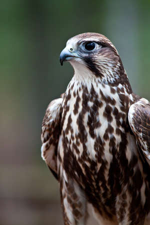 cherrug: A Portrait of a Saker Falcon