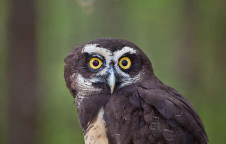 spectacled: A Spectacled Owl stares at the camera with big crazy eyes