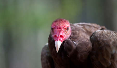 turkey vulture: A Turkey Vulture Glares into the camera