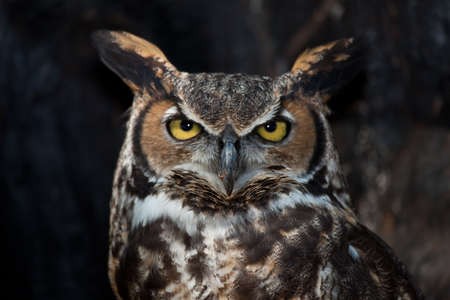 A Great Horned Owl stares into the camera