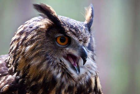 A Eurasian Eagle Owl screeching in to the distance  Portrait Stock Photo