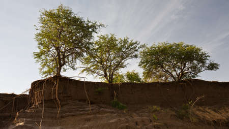 A number of large Acacia trees with roots showing as the land is eroded out from under them. Manyara Ranch Conservancy, Tanzania.