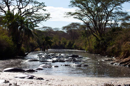 A number of Hippos soak themselves in the water. Serengeti National Park, Tanzania. Stock Photo
