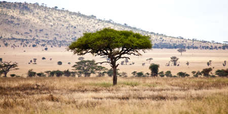 acacia tree: Acacia trees on the African Savanna. Serengeti national park, Tanzania Stock Photo