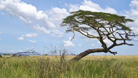 Acacia trees on the African Savanna. Serengeti national park, Tanzania 版權商用圖片